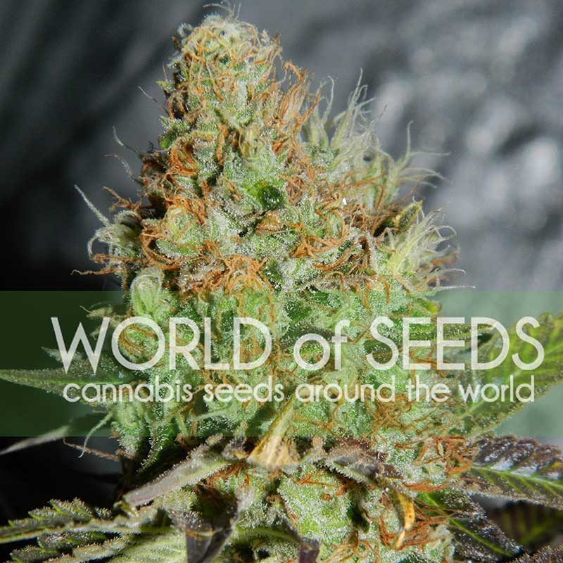 Afghan Kush Special - World of Seeds - Seed Banks