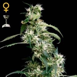 ARJAN´S ULTRA HAZE #2  - GreenHouse - Seed Banks