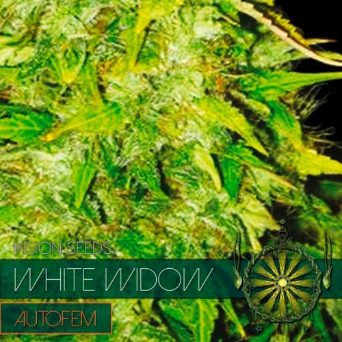 WHITE WIDOW AUTO - Vision Seeds - Seed Banks