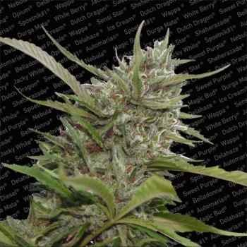 AUTO WHITE BERRY - Paradise Seeds - Seed Banks