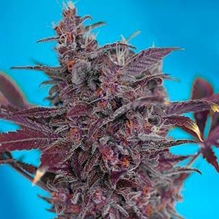 Black Cream Auto - Sweet Seeds - Seed Banks