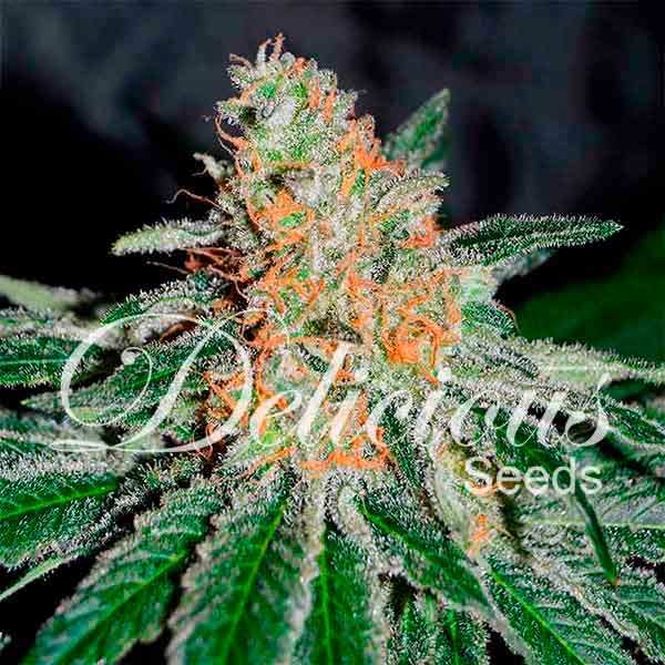 CBD JAM - Delicious Seeds - Seed Banks