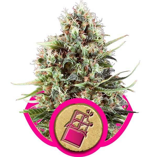 Chocolate Haze - Royal Queen Seeds - Seed Banks