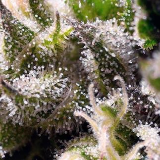 CREAM CARAMEL AUTO - Sweet Seeds - Seed Banks