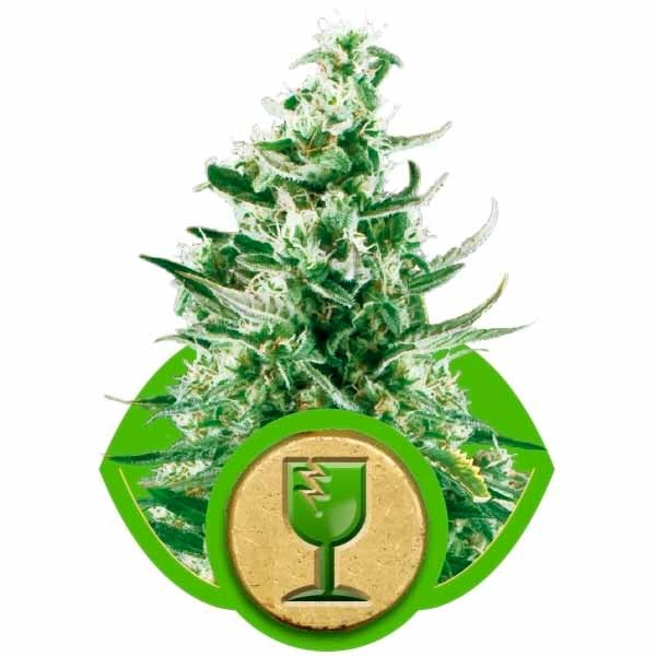 ROYAL CRITICAL AUTOMATIC - Royal Queen Seeds - Seed Banks