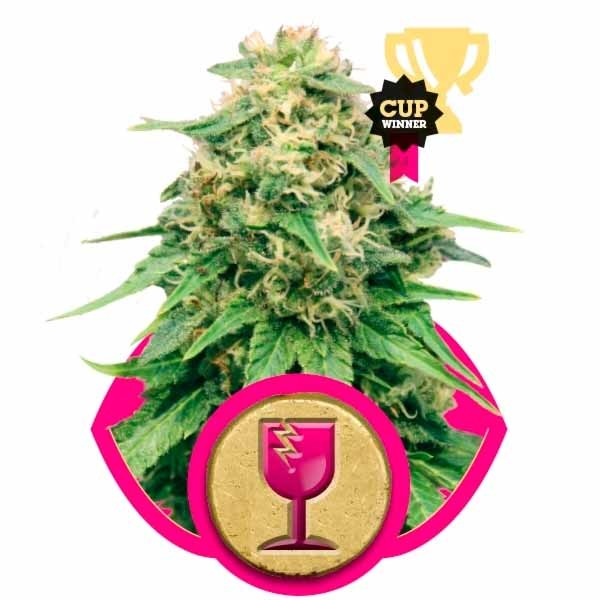 CRITICAL - Royal Queen Seeds - Seed Banks