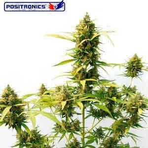 Critical Express - Positronics - Seed Banks