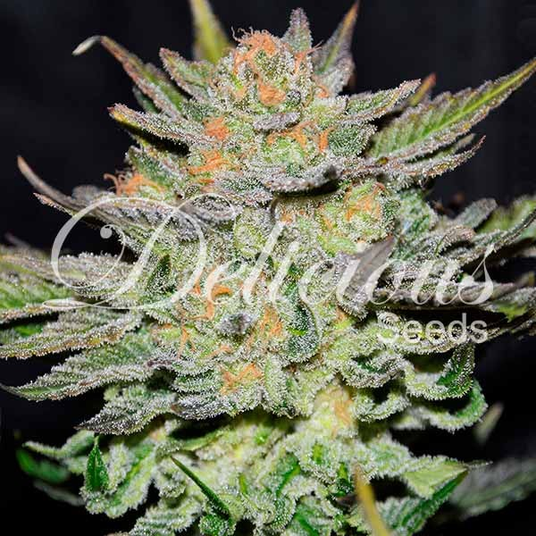 Auto Blue Ace Cbd - Delicious Seeds - Seed Banks