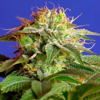 GREEN POISON - Sweet Seeds - Seed Banks