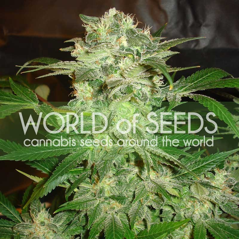 MAZAR KUSH - World of Seeds - Seed Banks