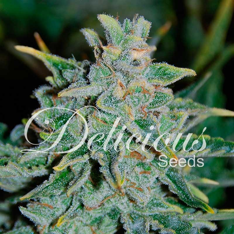 Northern Light Blue Auto - Delicious Seeds - Seed Banks