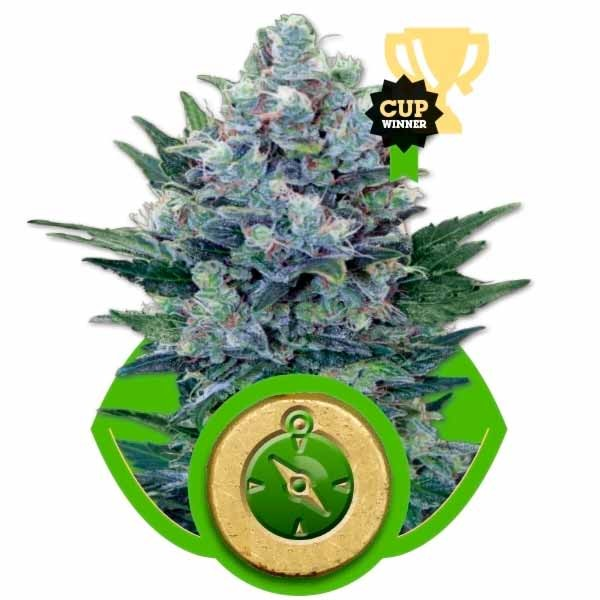 NORTHERN LIGHT AUTO - Royal Queen Seeds - Seed Banks