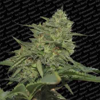 ORIGINAL CHEESE (IBL) - Paradise Seeds - Seed Banks