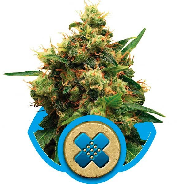 Painkiller XL - Royal Queen Seeds - Seed Banks