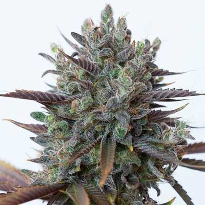 Purple Orange CBD - Dinafem - Seed Banks