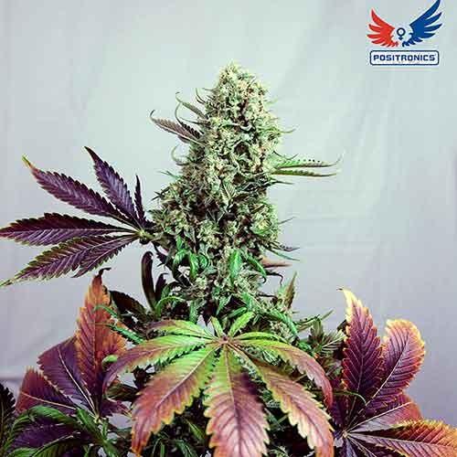 Purple Haze #1 - Positronics - Seed Banks