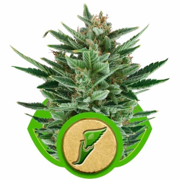 QUICK ONE - Royal Queen Seeds - Seed Banks