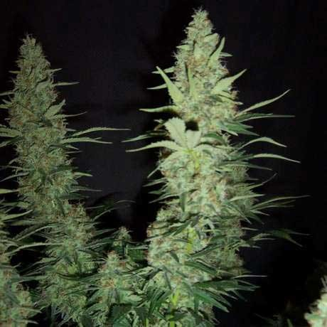 HAWAII MAUI WAUI FEM 5 SEEDS - Nirvana - Seed Banks