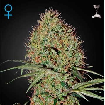 Super Bud Auto - GreenHouse - Seed Banks