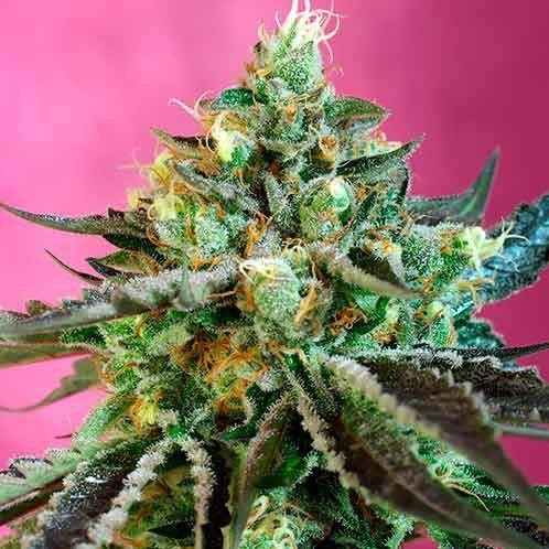 Sweet Nurse Auto CBD - Sweet Seeds - Seed Banks