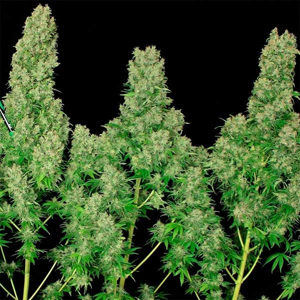 White Russian - Serious Seeds - Seed Banks