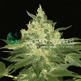 Afghan Kush - Samsara Seeds - World of Seeds