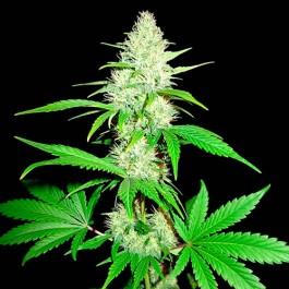 Amnesia Ganja Haze - 3 seeds  - Samsara Seeds - Sumo Seeds