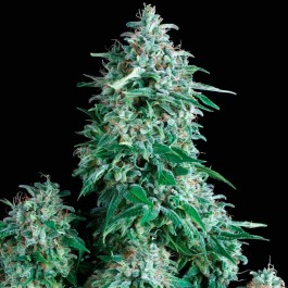 ANUBIS - Samsara Seeds - Pyramid Seeds