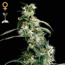 ARJAN´S ULTRA HAZE #2  - Samsara Seeds - GreenHouse