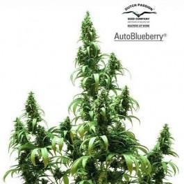 AUTO BLUEBERRY - Samsara Seeds - Dutch Passion