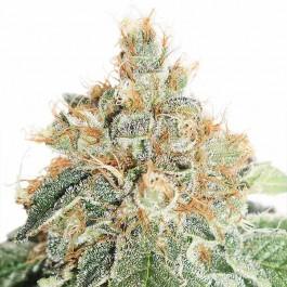 Auto Colorado Cookies - Samsara Seeds - Dutch Passion