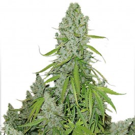 Auto Ultimate - Samsara Seeds - Dutch Passion