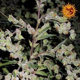 DR GRINSPOON - Samsara Seeds - Barney's Farm
