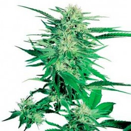 BIG BUD REGULAR - Samsara Seeds - Sensi Seeds