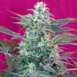 Big Foot - Samsara Seeds - Sweet Seeds