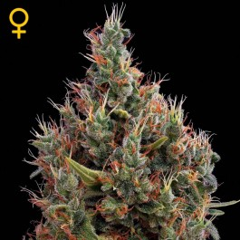 Big Bang Auto - Samsara Seeds - GreenHouse