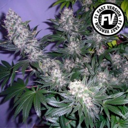 BLACK JACK FAST VERSION - Samsara Seeds - Sweet Seeds