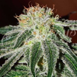 Black Russian - Samsara Seeds - Delicious Seeds