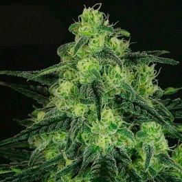 BLACK VALLEY - Samsara Seeds - Ripper Seeds