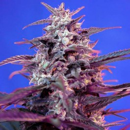 BLOODY SKUNK AUTO - Samsara Seeds - Sweet Seeds