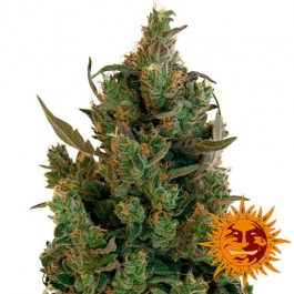 BLUEBERRY CHEESE - Samsara Seeds - Barney's Farm