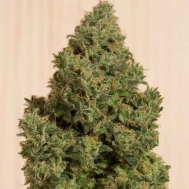 Blue Dream CBD - Samsara Seeds - Humboldt Seeds
