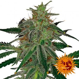 BLUE MAMMOTH AUTO - Samsara Seeds - Barney's Farm