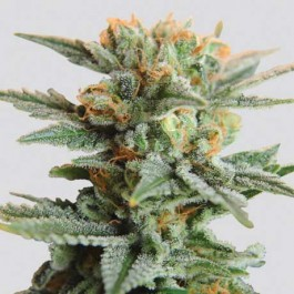 Blueberry Kush Auto 5 Seeds - Samsara Seeds - Nirvana