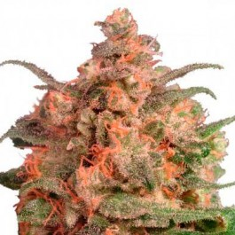 Brainstorm - Samsara Seeds - Dutch Passion