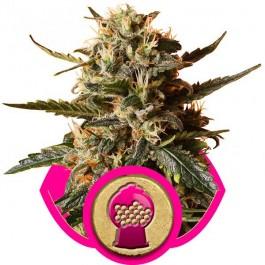 Bubblegum XL - Samsara Seeds - Royal Queen Seeds