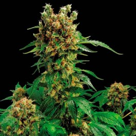CALIFORNIA HASH PLANT - Samsara Seeds - Dinafem