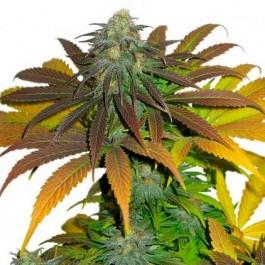 Californian Orange - Samsara Seeds - Dutch Passion
