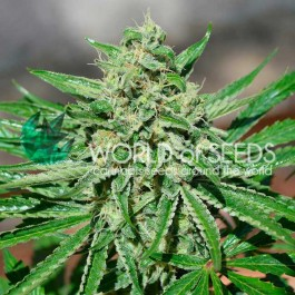 CBD TONIC - Samsara Seeds - World of Seeds