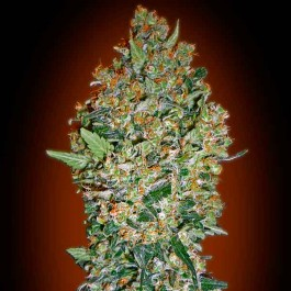 00 Cheese - 5 seeds - Samsara Seeds - 00 Seeds